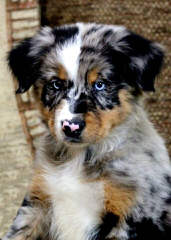 Oakwood Aussies - Dog Breeders