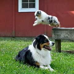 Mercyme Miniature Australian Shepherds - Dog Breeders