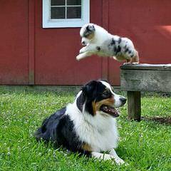 Australian Shepherd Puppies - Dog Breeders