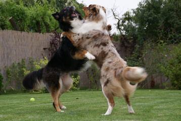 Djaussies - Dog Breeders
