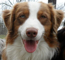 Tj's Aussies - Dog Breeders