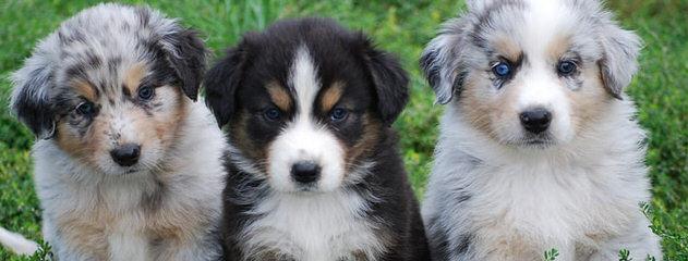 Australian Shepherds - Dog Breeders