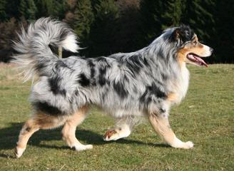 Aussie Puppies Available - Dog Breeders