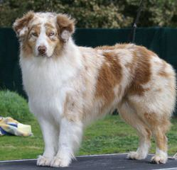 Unleashed Toy Aussies - Dog Breeders