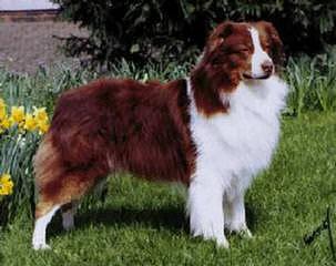 Australian Shepherd Pups - Dog Breeders