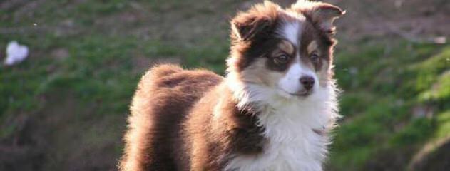 Hatch Aussies - Dog Breeders