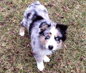 Australian Shepherd Puppies! - Dog Breeders