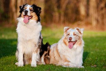 HoneyCreek Australian Shepherds - Dog Breeders