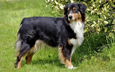 Hatch Horses and Aussies - Dog Breeders