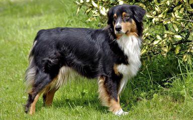 Aussies N Kentucky - Dog Breeders