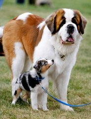 Australian Shepherd Pups - Dog Breeders