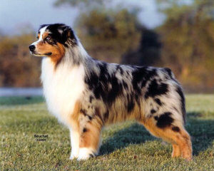 Akc Australian Shepherd Puppies - Dog Breeders