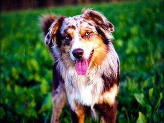 Aussies Coming This Fall - Dog Breeders
