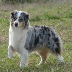 Mirage Australian Shepherds - Dog Breeders