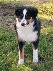 Great Oaks Farm - Dog Breeders
