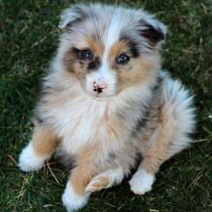 Mott Ranch – Australian Shepherd Puppies In Arizona - Dog Breeders