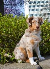 Mini And Toy Australian Shepherds - Dog Breeders