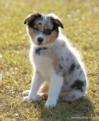 Miniature Blue Merles Aussies - Dog Breeders