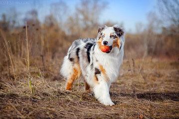 Aussie Puppies Available - Dog Breeders