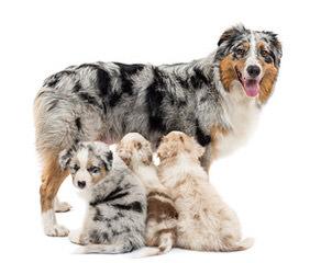 Roome's Premium Mini Australian Shepherds - Dog Breeders