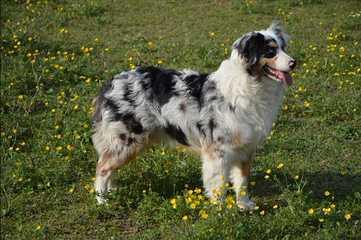 Lifetime Aussies - Dog Breeders
