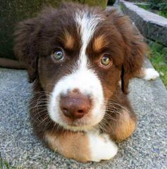 Kelly Dirksen – Rockin D Australian Shepherds - Dog Breeders