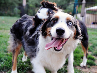 Miniature Blue Merles Aussies - Dog Breeders