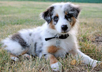 Australian Shepherds-Cherokeewind Kennels Of Mi - Dog Breeders