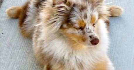Mirage Australian Shepherds - Dog Breeders