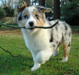 Maiden Rock Aussies - Dog Breeders