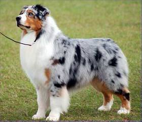 Pur-Plesur Australian Shepherds - Dog Breeders