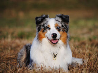 Australian Shepherd Puppies! - Dog Breeders