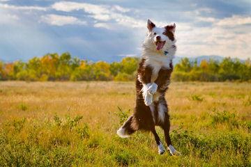 Mercyme Miniature Australian Shepherds - Dog Breeders