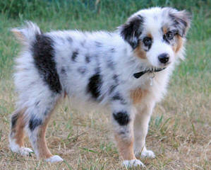 HoneyCreek Australian Shepherds - Dog Breeders