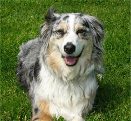 Wilson's Australian Shepherds - Dog Breeders