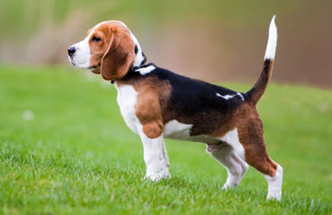 Beagle For Rehoming - Dog and Puppy Pictures