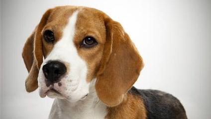 Beagle Stud For Hire. - Dog and Puppy Pictures