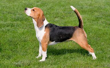 Hockomock Swamp Beagles - Dog Breeders