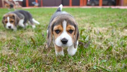 Home Of The Hounds Kennel - Dog and Puppy Pictures