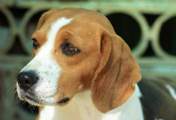 East Idaho Beagles - Dog and Puppy Pictures