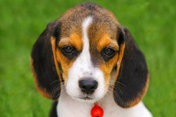 Akc Registered Beagle For Stud Services - Dog and Puppy Pictures