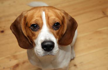 East Idaho Beagles - Dog Breeders