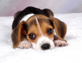 East Idaho Beagles - Dog Breeders
