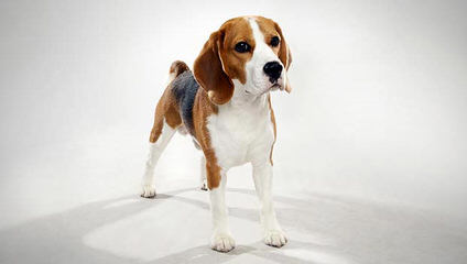 Bizarte Beagles - Dog and Puppy Pictures