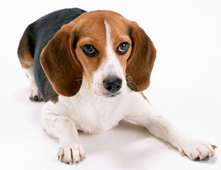 Beautiful Beagles - Dog and Puppy Pictures