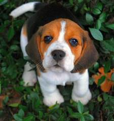 Queen Elizabeth Pocket Beagles - Dog Breeders