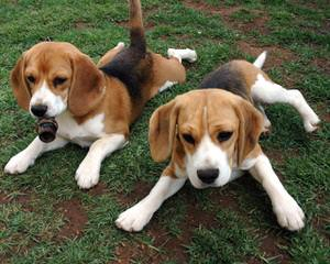 Hockomock Swamp Beagles - Dog Breeders