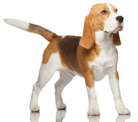 New And Improved Beagles: Beagliers! - Dog Breeders