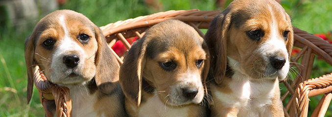 Home Of The Hounds Kennel - Dog Breeders