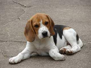 Nicodemis Johnson Beagle Puppy - Dog Breeders